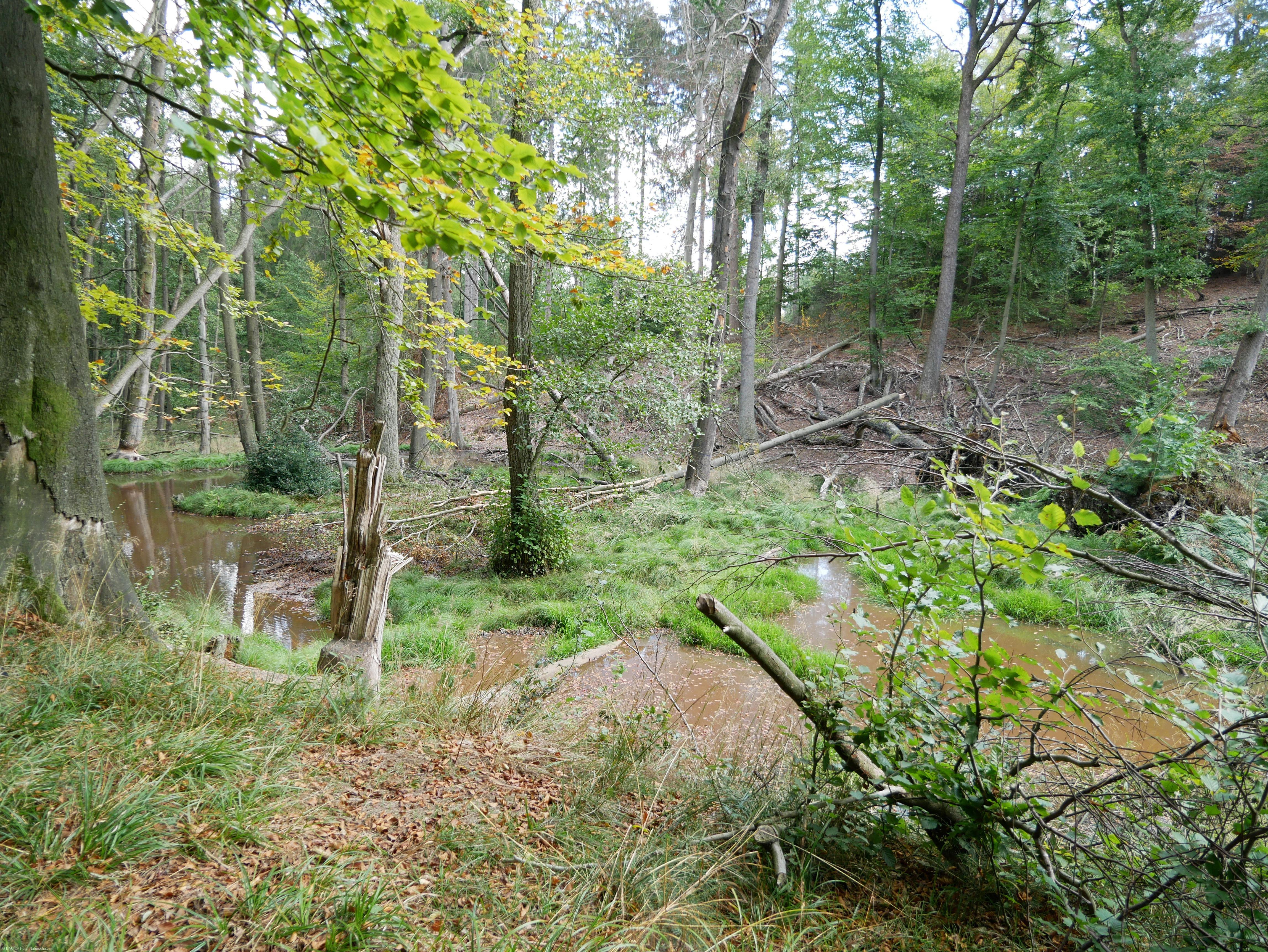 Biber im Hürtgenwald